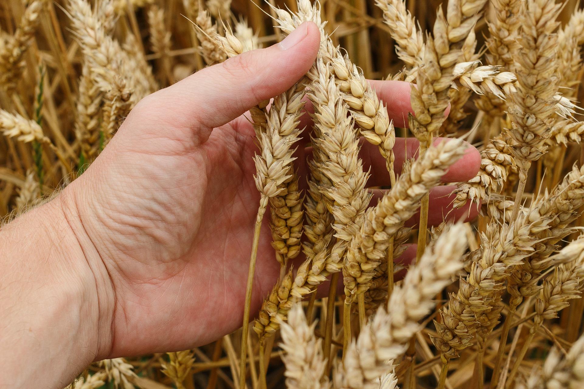 wheat-1530321_1920